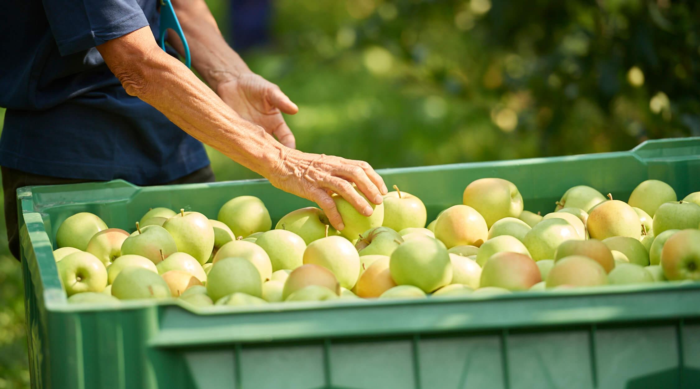 giornata mondiale delle cooperative la trentina raccolta delle mele