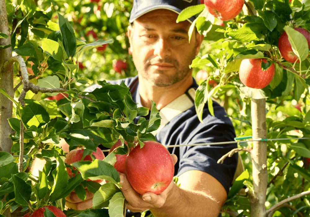 La raccolta delle mele inizia oggi con la varietà Gala, insieme ad una splendida notizia!