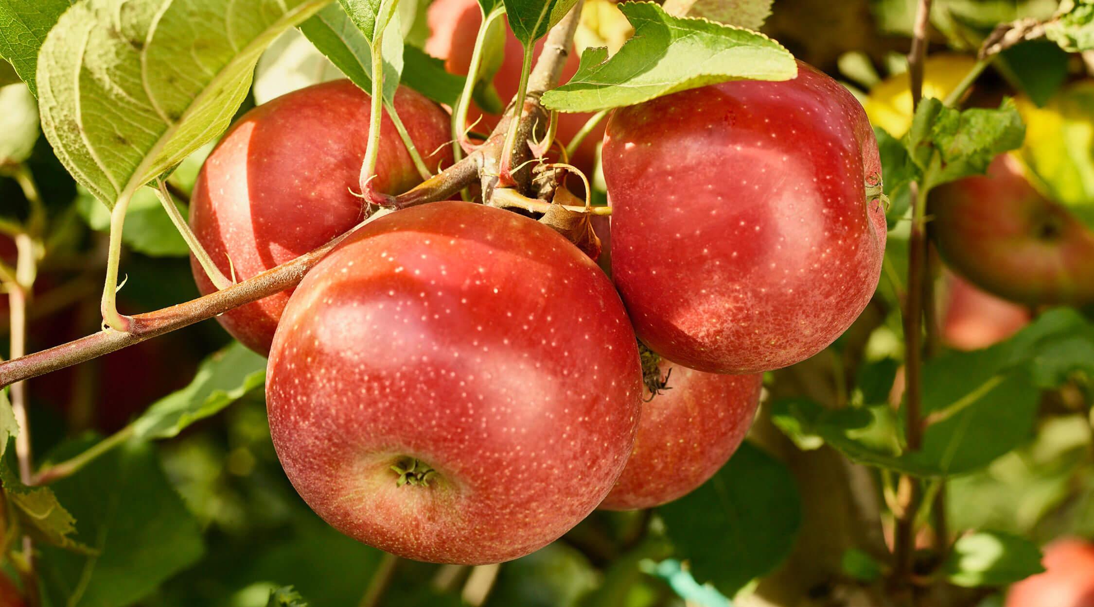 raccolta-mele-morgendurf-latrentina-ottobre-2020