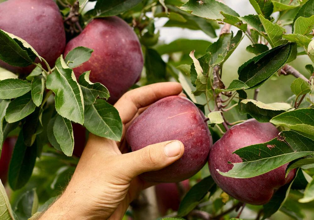 Siamo nel cuore della stagione di raccolta delle mele: quale momento migliore per imparare a conoscerle?