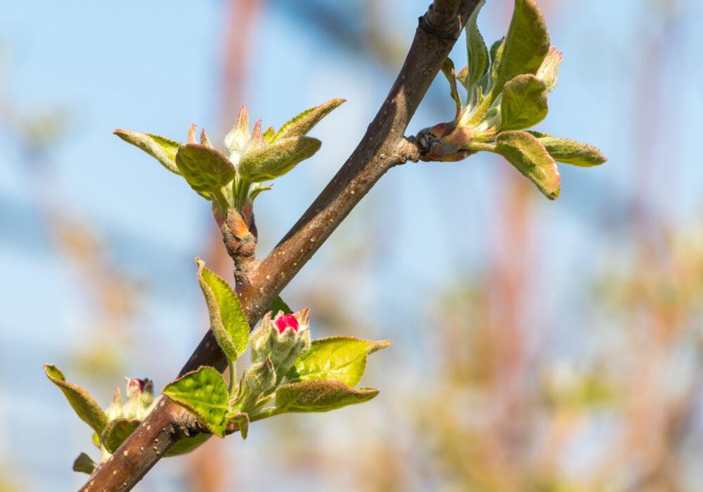 Gemme e primavera: il risveglio della vita