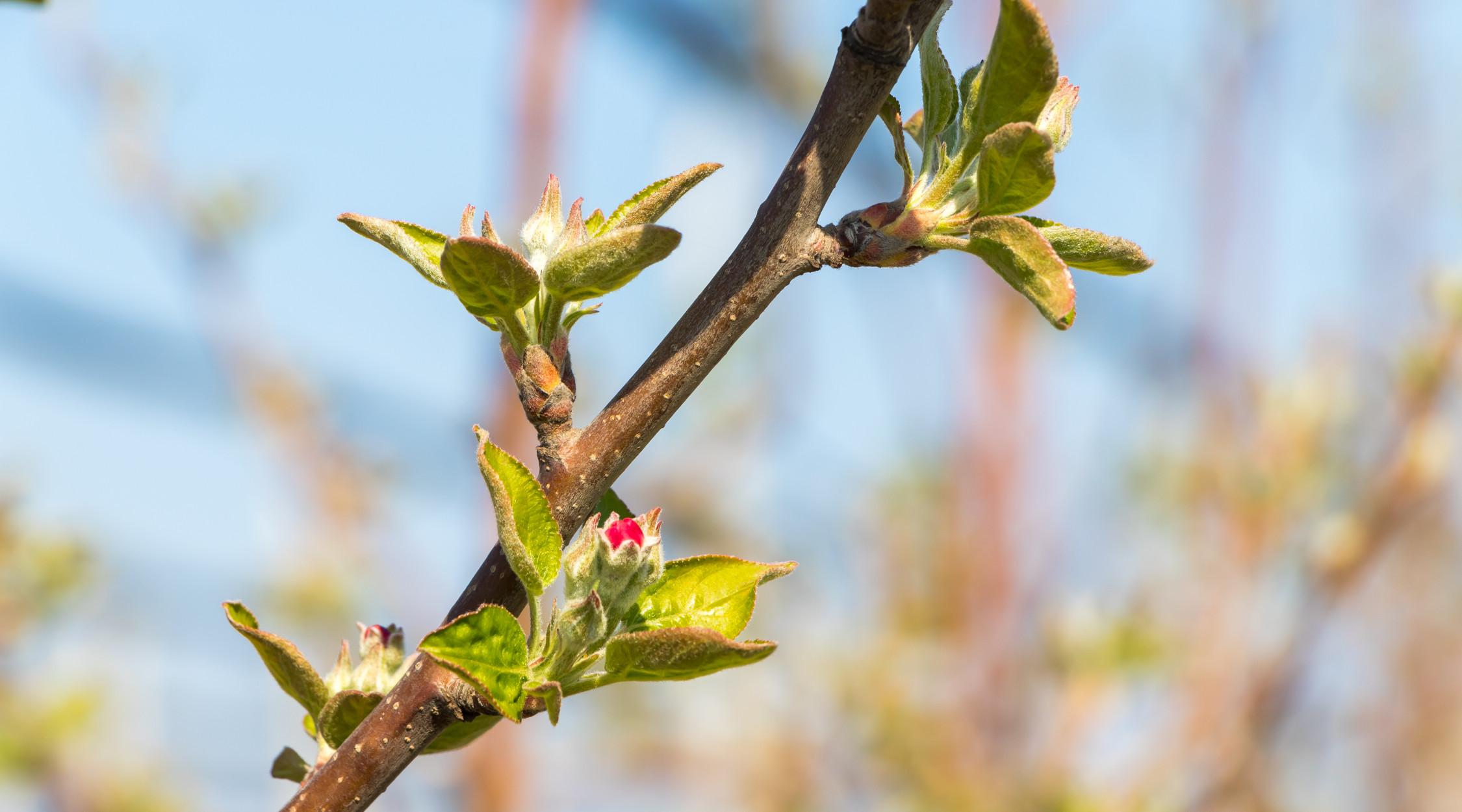 Gemme meli e primavera | La Trentina