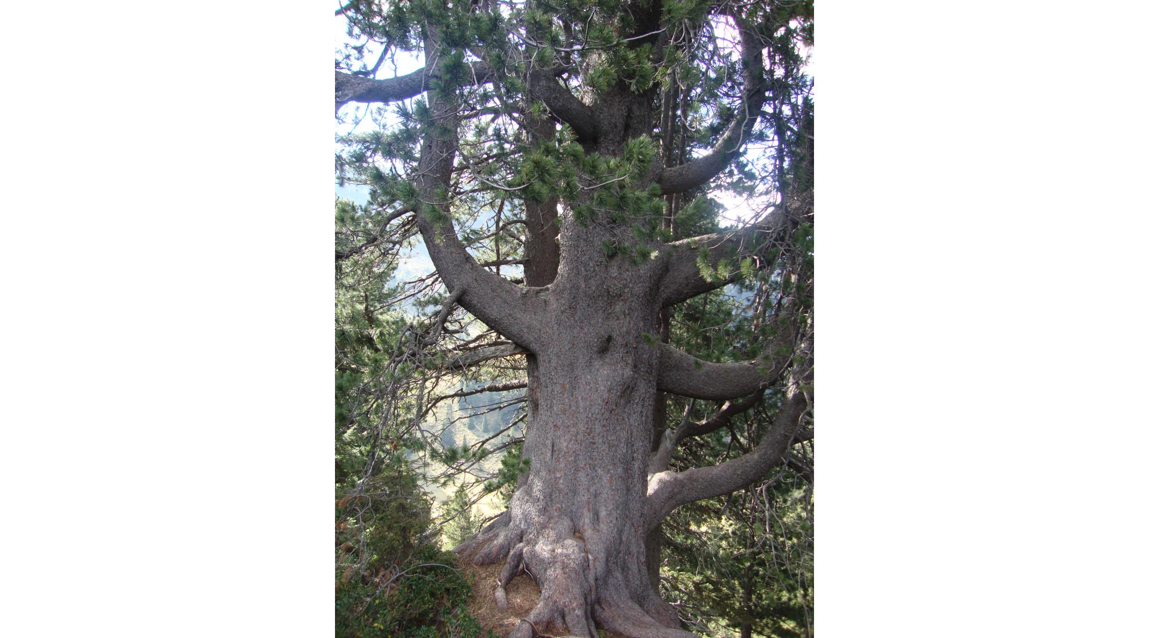 Il Re Leone | albero monumentale della Val di Fiemme | La Trentina
