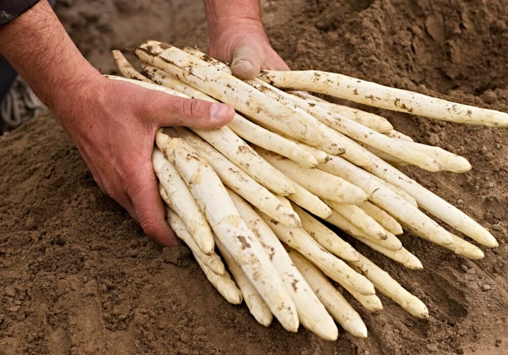 Asparagi bianchi di Zambana: una deliziosa eccellenza