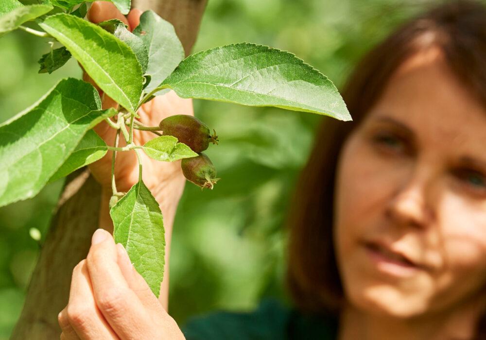 Diradamento sulle piante di melo in giugno: un'operazione molto importante per migliorare i futuri raccolti