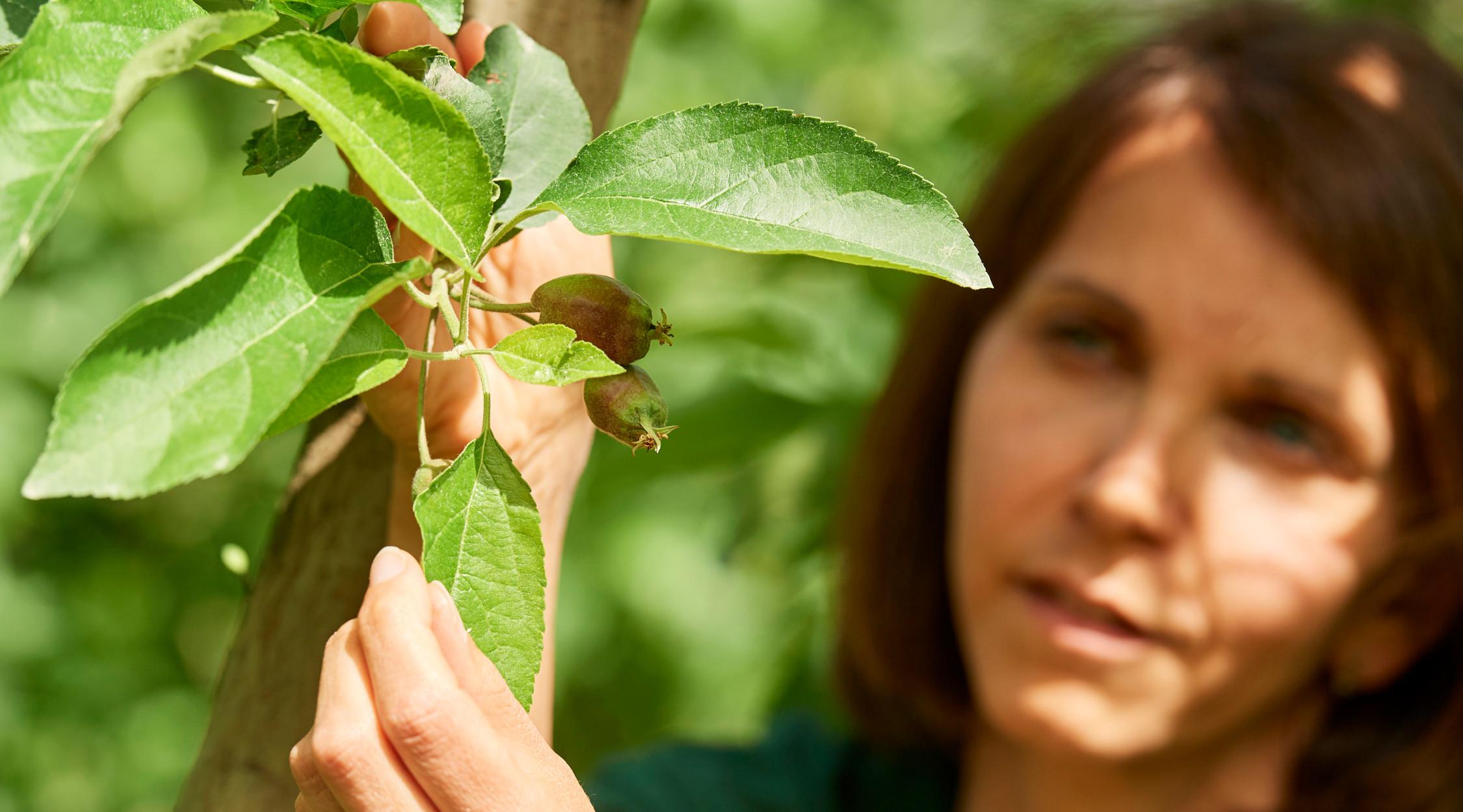 La Trentina | Diradamento meli in giugno